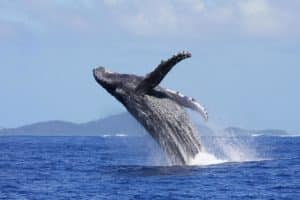 Saut de baleine à bosse à Mayotte (Photo Mayotte Découverte)