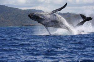 saut de baleines à bosse avec Mayotte Découverte