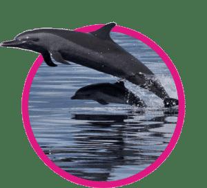 vignette dauphin