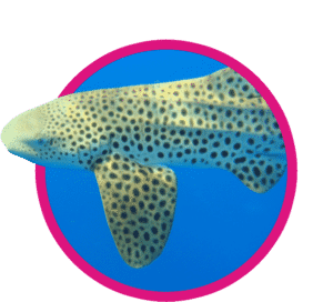 vignette requin