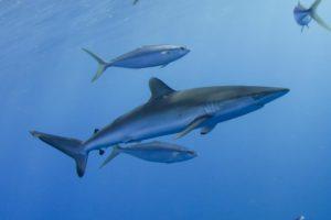 requin soyeux avec Mayotte Découverte