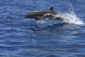saut de dauphin à Mayotte