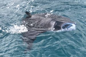 Raie Manta à la surface de l'eau Mayotte Découverte